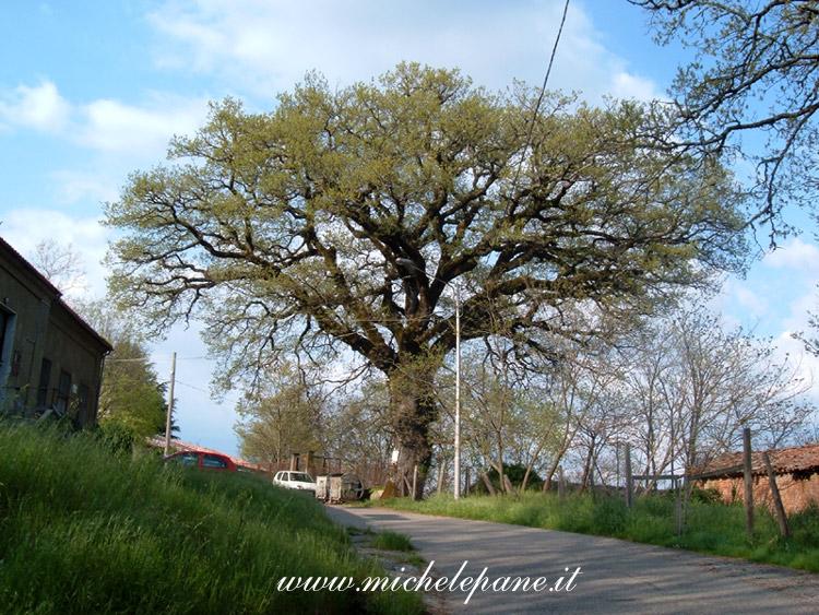 'A cerza d''a Linza (La quercia della Linza), Adami